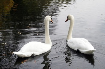 swan-1165870_960_720